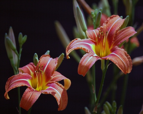 Day lillies