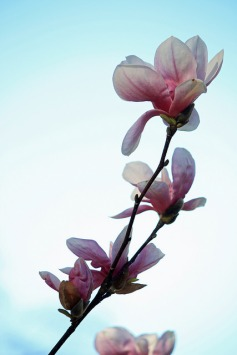 Annoying magnolia in all its glory. Deux.