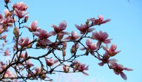 Annoying magnolia in all its glory, Une